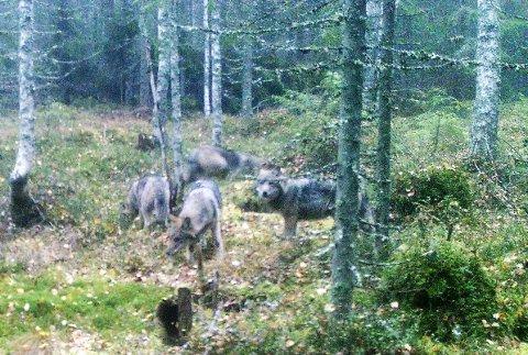 Denne ulveflokken ble registrert som Sootsjøflokken øst for Bjørkelangen vinteren 2019. Hannen i flokken har gått over til svensk side, ifølge Statens naturoppsyn.