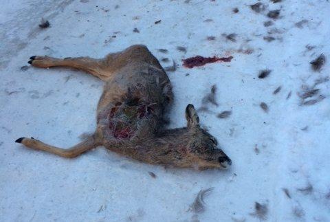 Rådyr drept av hund i Ullevålsseterveien.
