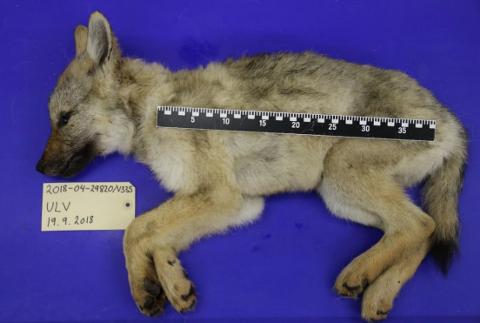 ULVUNGE: Hannulven som ble funnet død i september i fjor, var født samme vår og veide 5,5 kilo da den ble undersøkt på Veterinærinstituttet.