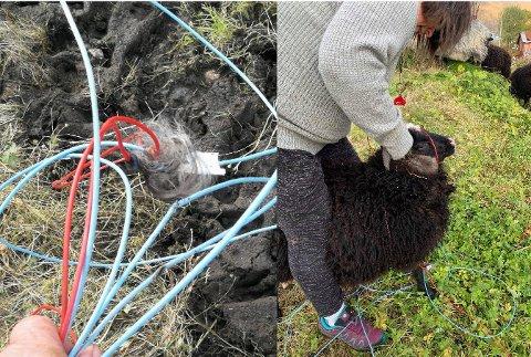 SPRENGLEDNING: Lammet til Esther Nordby kom ned fra fjellet med sprengledninger rundt halsen.