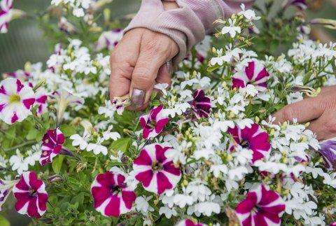 Visne blomster må knipes av for at planten skal fortsette å blomstre. Foto: Fredrik Varfjell / NTB scanpix