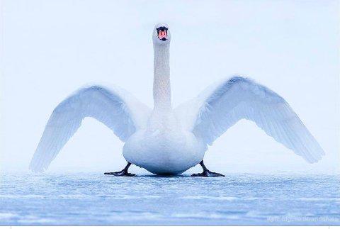 IKKE MAT DEM: Ornitologer får flere bekymringsmeldinger om svaner som ligger urørlig på isen. Det er helt normalt. Svanene kan ligge slik i dagevis for å spare energi.