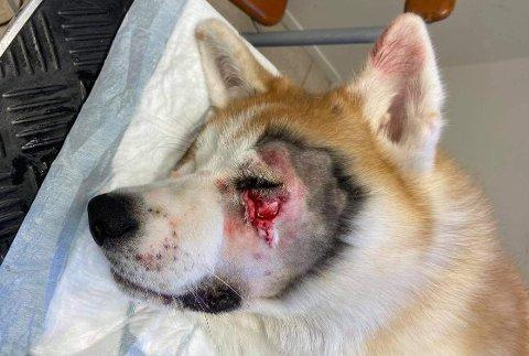 STYGT SÅR: Masaru måtte til veterinær etter å ha blitt angrepet av en annen hund ved Goksjø.