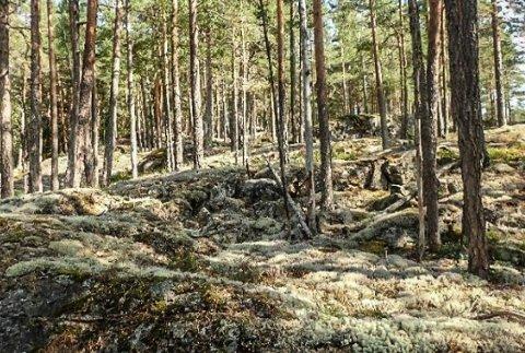 Bjønnestille: Lavereliggende, fleraldret og brannpåvirket tett furuskog med noe død ved. Dette kan bli nytt naturreservat i Notodden.