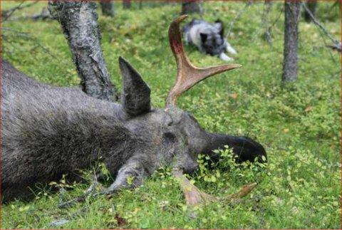 Flest fellingar: Jatsesongen 1999-2000 var det store elgjaktåret i Valdres.
