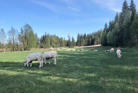 ULVEBESØK: Ulven prøvde å angripe kuer inne på dette jordet til Toril og Ole Gustav Rød på Rød gård mellom Rena og Deset.