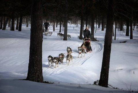 Lars Tessem og seks av de firebeinte familiemedlemmene i fullt firsprang gjennom skogen på Kåsmo. Bak fikk journalisten prøve seg med et mindre spann. Hundekjøreren er stort sett ute med huskyene hver dag.