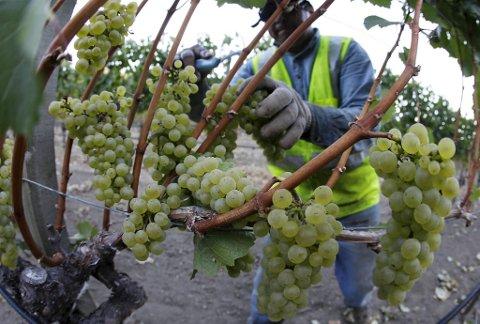 Chardonnay dyrkes i de fleste vinproduserende land. Druen er svært tilpasningsdyktig, og tar også preg av sitt voksested i aromaer og smak.