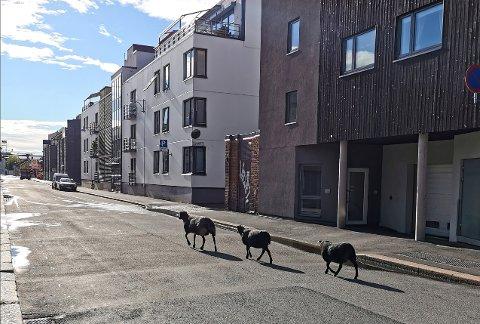 Et aldri så lite urbant eventyr for tre norske pelssauer fra Sjåstad i Lier.