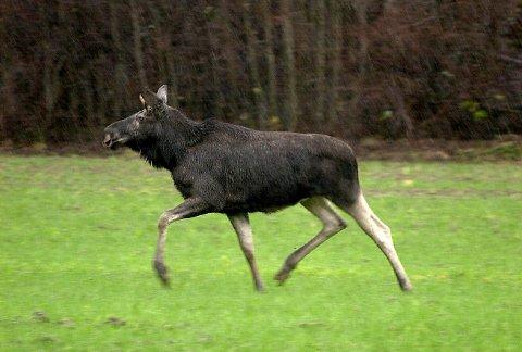 ELGJAKT: I Våler kan innbyggere søke om å få bli med på elgjakta.