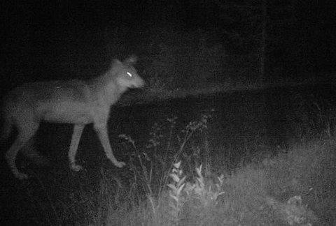 LAND-ULVEN: Dette er ulven det nå jaktes på i Land og Sør-Aurdal. Dette bilde ble tatt av viltkamera i sommer.