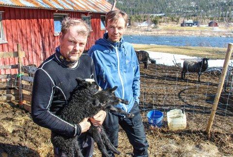 MISTET SAU: Finn David Lund (til høyre) er en av fire sauebønder som har mistet sau til bjørn i Grane den siste uka. Her er han sammen med broren Sten Ruben Lund i 2019.