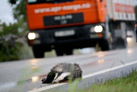 PÅKJØRT: Denne grevlingen fikk et hardt møte med trafikken på Austrått tirsdag.
