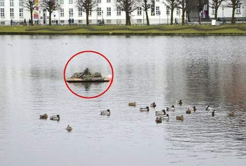 Flåten ligger der, og på vannet rundt er kurtiseringen i full gang. Om noen av disse endene tar i bruk flåtens muligheter som hekkeplass, gjenstår å se.