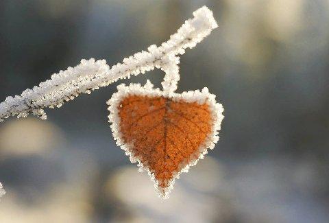 Kjærlighet: Et rimfrosset blad formet som et hjerte. Alle foto: Bente Skatvedt
