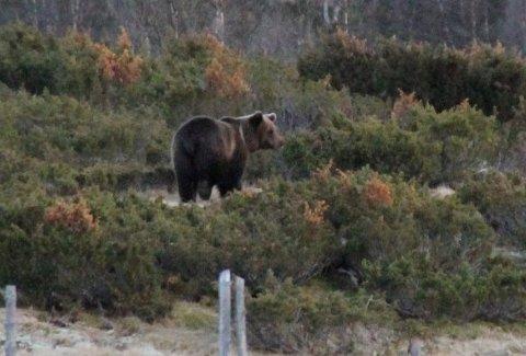 Gudbrandsdølen Dagningen Ingen Har Funnet Bjørnen