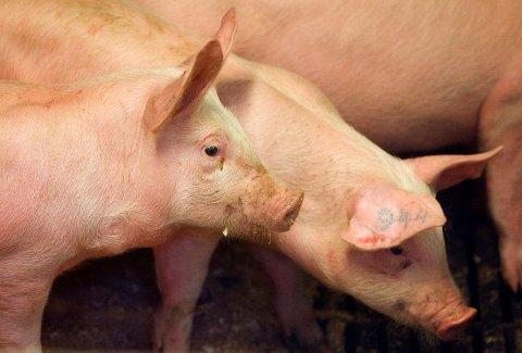 Mattilsynet fant avvik ved en rekke grisegårder. Illustrasjonsfoto: Heiko Junge / NTB scanpix.