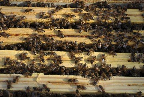 Både tamme og ville bier gjør en enorm innsats for verdens matvareproduksjon.