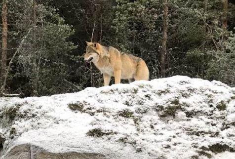 ULV: Det kommer jevnlig observasjoner om ulv i og rundt osloområdet. Denne ulven ble nylig fotografert rett ved en bilvei i Ski kommune. Foto: Privat