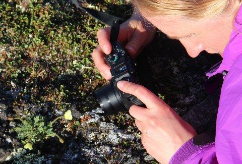 LØNN FOR STREVET: Etter ni timers tur opp bratte fjell i Storfjord, fant entusiastene endelig den gule og sjeldne valmuen. Susanna Strømberg dokumenterer med kamera. Foto: Steinar Thorvaldsen