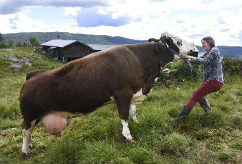 HVERDAG: Marie kan være så sta a bare vil. Men vil ikke ammekua flytte på seg så står hun der hun vil. Foto: Per Skjønberg