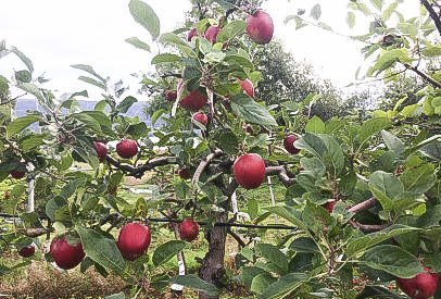 MINDRE: Epletrærne i Indre Østfold bærer langt mindre frukt enn hva som var tilfellet i fjor.
