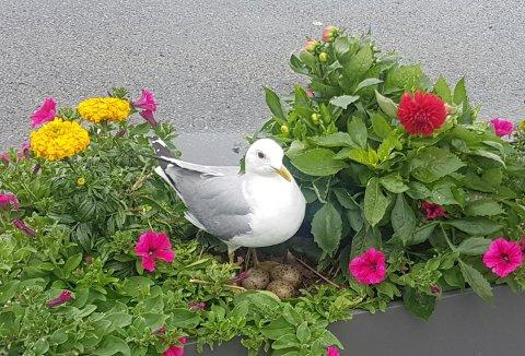 Mellom blomstene i blomsterbedet på City Nord har denne skapningen funnet sin ønskede plass for hekkingen.