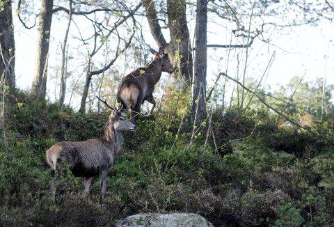 Byen utvides og utvides og nye boligområder tas i bruk. Hjorten vandrer i dag kanskje på nye stier, og det er disse nå Bergen kommune er interessert i å vite mer om. De to hjortene på bildet er foreviget på Bønes. (Foto:  RUNE JOHANSEN)