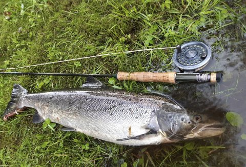 Denne laksen er på mellom fire og fem kilo, men frem til nå er det mye fisk som er langt mindre enn denne som preger fangststatistikken i Storelva. (Foto: ARNA SPORTSFISKARLAG)