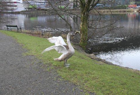 Om svaneungen her prøver å lette fra bakken, er ikke godt å si. Men dette var noe langt mer enn å bare bruse med fjærene. Tydelig at den har lyst å komme i luften, men at noe hindrer den i få dette til. Foto: TOM R. HJERTHOLM