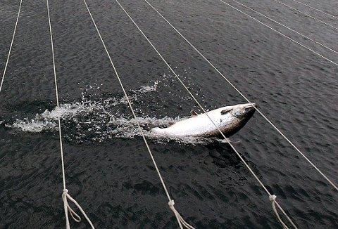 TI GONGER AUKE: Talet på rømd laks frå norske oppdrettsanlegg var på 143.000 fisk i fjor, og det er ein markant auke frå året før.