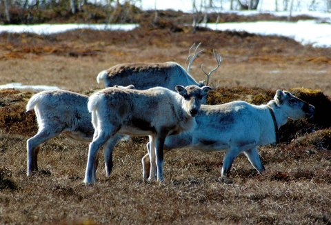 Elgjakt: En jeger så feil på en elg og en rein. Sistnevnte ble skutt i Ballangen. Illustrasjonsfoto