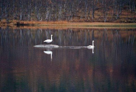 SVANER: Disse to svanene ble fotografert på Osvannet i 2013.