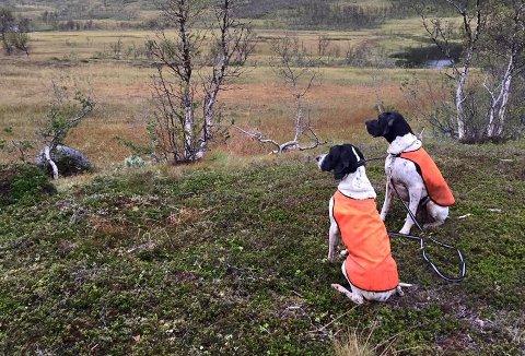 OMSTRIDT: Å bruke hund til rypetelling innenfor båndtvangperioden, har blitt omstridt i Karlsøy kommune. Mens administrasjonen sier ja, vendte politikerne tommelen ned for å gi dispensasjon fra hundeloven. (Illustrasjonsfoto).