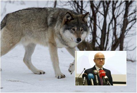 LENGER LISENSFELLINGSPERIODE: Klima- og miljødepartementet forslår å utvide lisensfellingsperioden for ulv utenfor ulvesonen. Innenfor ulvesonen foreslås det ingen endring.