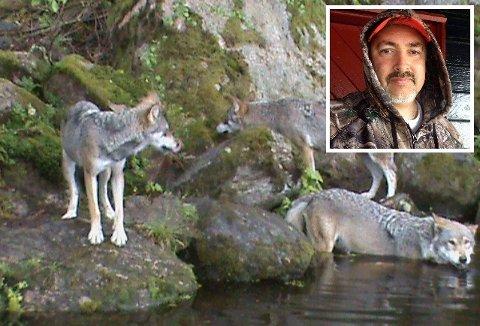 SKREMMESKUDD: Hans Christian Larsbakken (innfelt) fra Lena er på småviltjakt i Trysil. Lørdag formiddag møtte han fire ulver på Sæteråsen. De var såpass nærgående at han så seg nødt til å skyte skremmeskudd opp i lufta for å bli kvitt dem. Ulvene på bildet er fotografert i dyrepark og har ingen tilknytning til saken. Foto: Kjetil Brorson Dahl / Privat