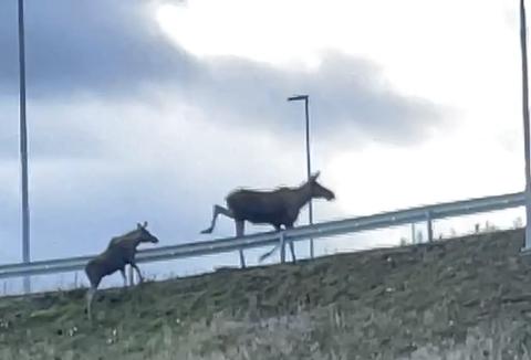 Farlig ferd: En elg ble påkjørt i nordgående løp på Rudshøgda. Se video i saken.
