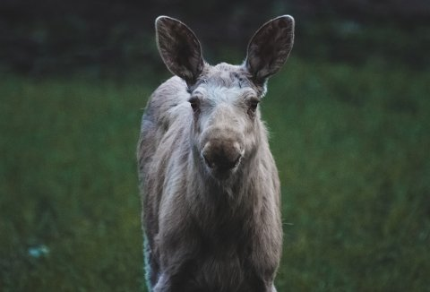 Lys elg: Fotograf Stian Norum Herlofsen (24) fra Bjørkelangen oppdaget to spesielle elger på et jorde i Aurskog-Høland torsdag kveld. De var ikke mørkebrune, som elger flest. Foto: Stian Norum Herlofsen