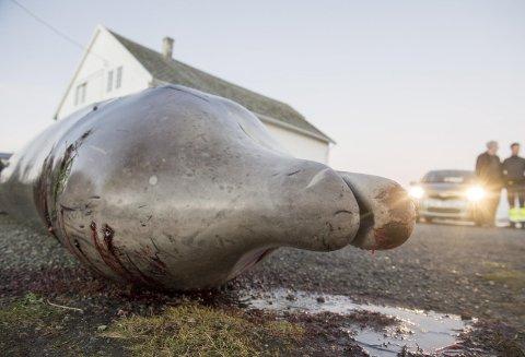 Historien om gåsenebbhvalen med magen full av plast gikk verden rundt da den strandet på Sotra for ett år siden. ARKIVFOTO: MAGNE TURØY