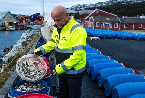 HEKTISKE DAGAR: Per Røys og dei tilsette ved Pelagia i Kalvåg har det travelt med å få ferdig matjessilda.