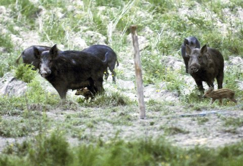 Uønsket: Villsvin lever i flokk og blir stadig flere i Østfold. En ny plan skal redusere antallet, blant annet gjennom jakt, mer kunnskap, samarbeid og rapportering. Bildet er tatt i Halden-området.