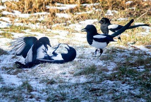 FORBUDT: Skjære kan det vanligvis jaktes på fra tidlig i august, til ut februar. Nå er det innført jaktforbud på grunn av fugleinfluensa.