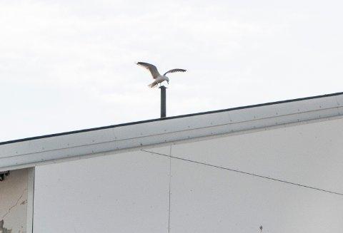 HAR INSTALLERT SEG PÅ TAKET: Flere måser satt på taket av Finnmarkssykehuset da iFinnmark tok turen innom.