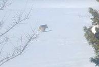 Ulv i Askim: Ulven var bare rundt 20 meter fra huset til Vidar og Turid Frankrig. De syns opplevelsen med å se en ulv var stor.
