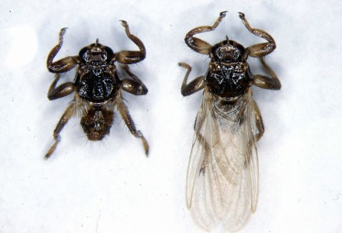 PLAGSOM FOR MANGE: Hjortelusflue (Lipoptena cervi) river av seg vingene når den har landet på et vertsdyr. Foto: Mehl, Reidar / Folkehelsa / SCANPIX