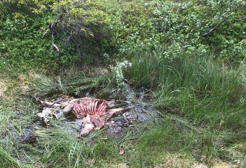 INGEN SKADEFELLING: Bildet viser en av femten døde sau Tone Våg har funnet den siste måneden. Nå er det bekreftet at det er en binne som befinner seg i det beiteprioriterte området i Roktdalen sør i Snåsa.