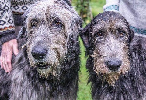 Store og stillferdige: Irsk ulvehund omtales gjerne som «den vennlige kjempen».
