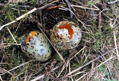 Knuste måkeegg: Å knuse egg kan gi en kraftig reaksjon. Her er to av eggene som ble knust i Ørje. (Foto: Bjørn Aksel Bjerke)