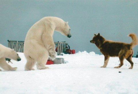 Tett på. Isbjørnen var sulten og ville ha mat og tok seg inn til hytta.