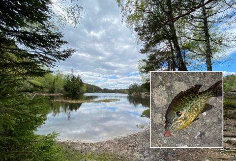 Kan være skadelig: Rødgjellet solabbor hører ikke hjemme i skogsvann i Lier. - Fisk som blir satt ut på denne måten kan ha parasitter som ikke finnes naturlig i vannet, og da kan det skje ubotelig skade, sier Espen Avdal, styreleder i Drammen Jeger og Fiskeforening.
